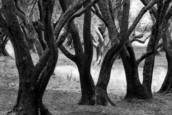 Olive Trees by Phyllis Goodfriend