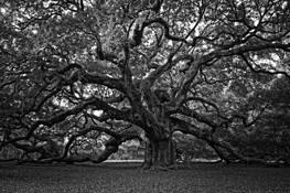 Angel Oak by Jerry Hale