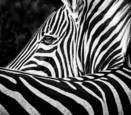 Zebra by Joe Sack