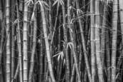 Bamboo by David Ruderman