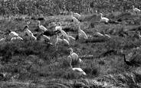 Everglades Cranes 2 by Bill Ozuna