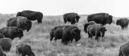 Bison Herd by Craig T. Patterson