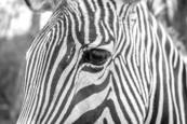 Zebra Up Close by Eric Howard