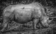 8. Rhino and Friend by Joe Sack