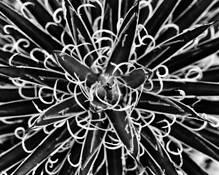 1-Agave Filifera by Brian Grandfield