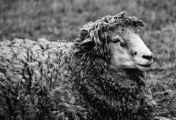 Andes Sheep by John Batdorff II