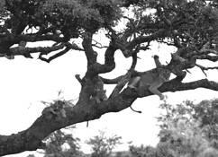 Lions In Tree by Dale LaFollette