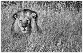 Lion by Ben Murphy