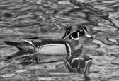 Wood Duck by Robert Davis