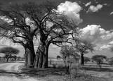 Baobab Trees by Berlin Bailey