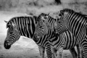 Zebras by Jonathan Silbiger