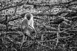 Monkey by Jonathan Silbiger