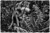 Wolf by Sharon Wylie