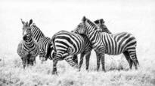 Zebras by Paolo Ameli