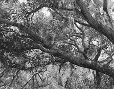 Los Osos Oak by Duain C. Wood