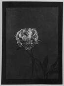 Peony Flower by Margrieta Jeltema