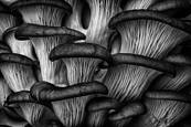 Oyster Mushrooms by Robert Woodward