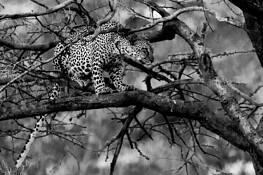 Leopard Spotted by Ira Serkes