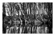 Reflections Trees by Francis Elsocht
