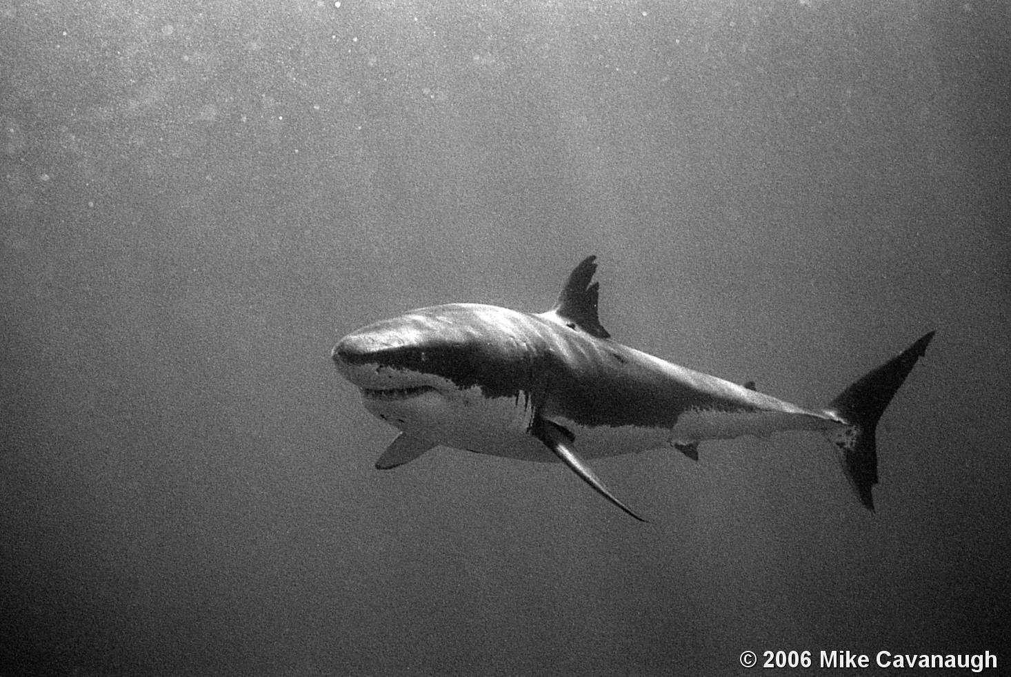 Scar great white shark by mike cavanaugh black white magazine