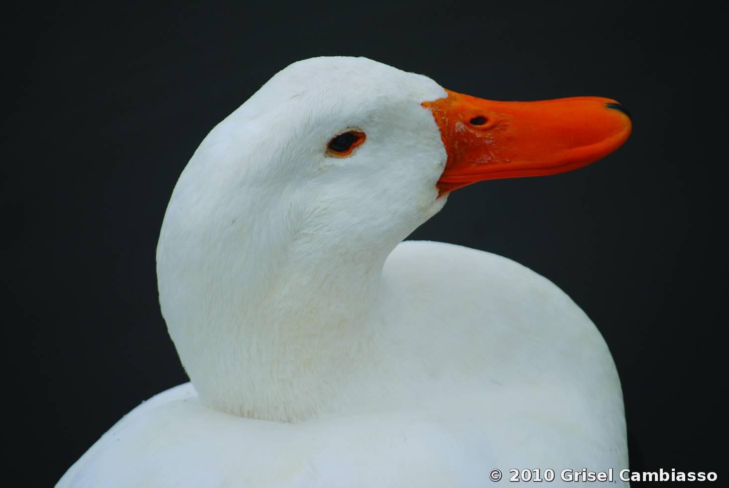 Duck by grisel cambiasso black white magazine for collectors color 2011 portfolio izmirmasajfo
