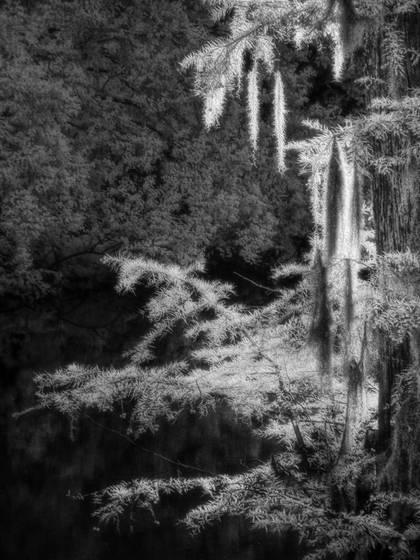 Spanish moss lecompte bayou