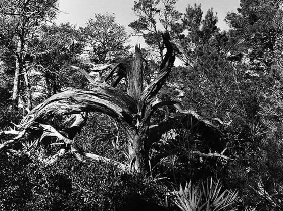 Coastal sand pine  destin