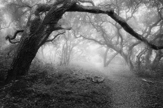Ancient oaks 2