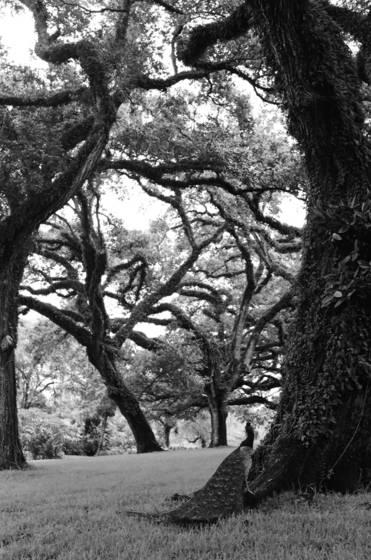 Sorcerer oaks