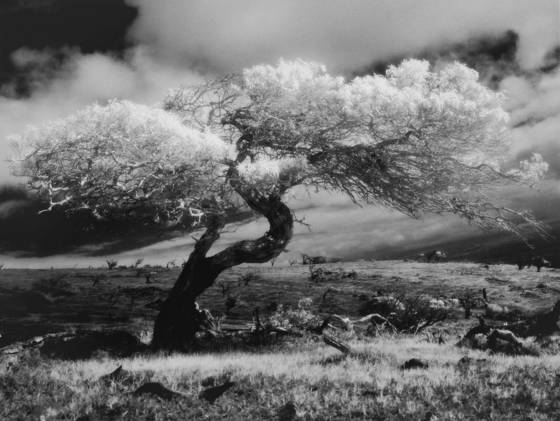 Mauna kea tree study  1