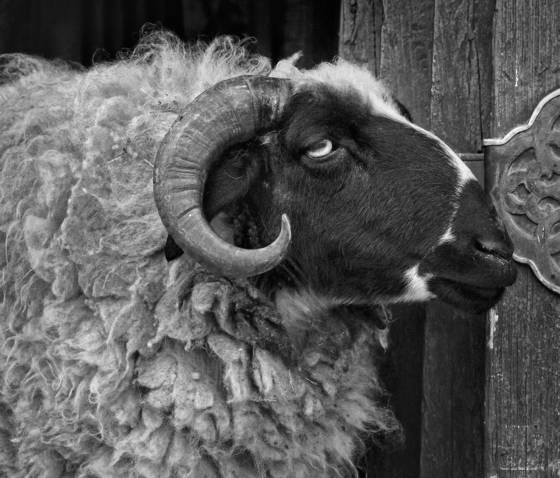 Liberated ram