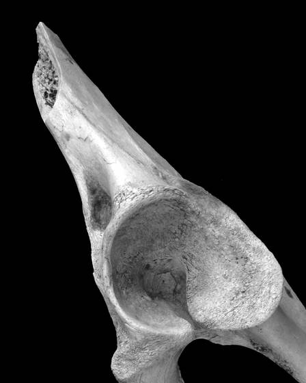 Pelke peter bones 4