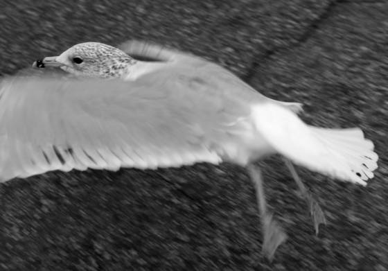 Parking lot seagull