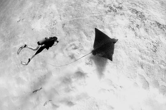 Diver and spotted eagle ray