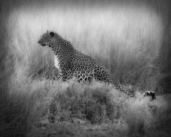 Leopard in grass