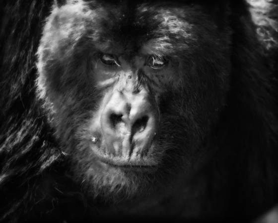 Update gorilla stare