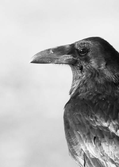 Ravens portrait