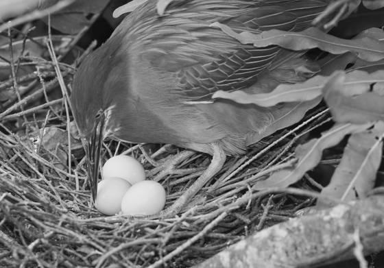 Green heron tending her nest
