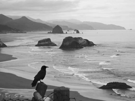 Black crow at cannon beach