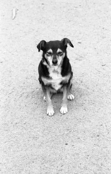 Pueblo dog