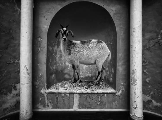 Goat model 2009