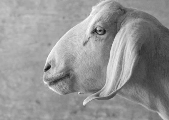 Goat 6
