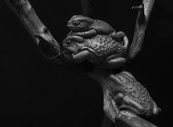 Tree frogs