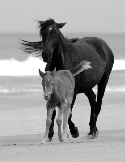 Mustang mare and foal in surf