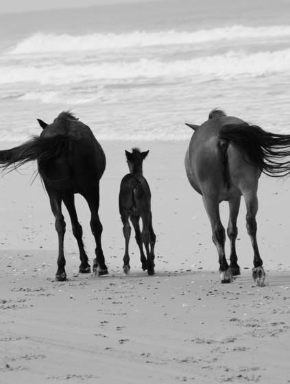 Wild mustang family
