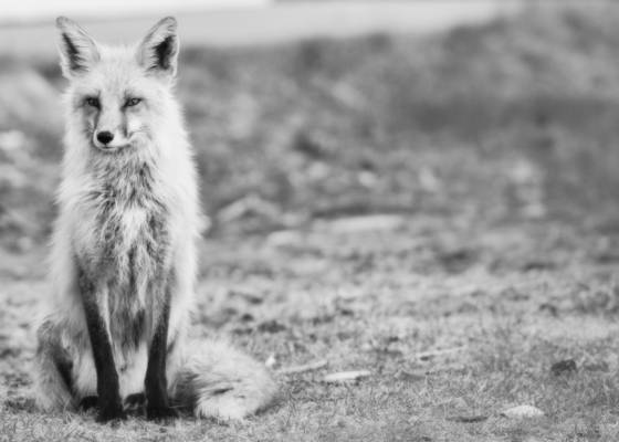 The city fox