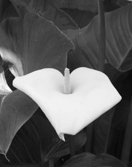 Spatiphyllum cordata