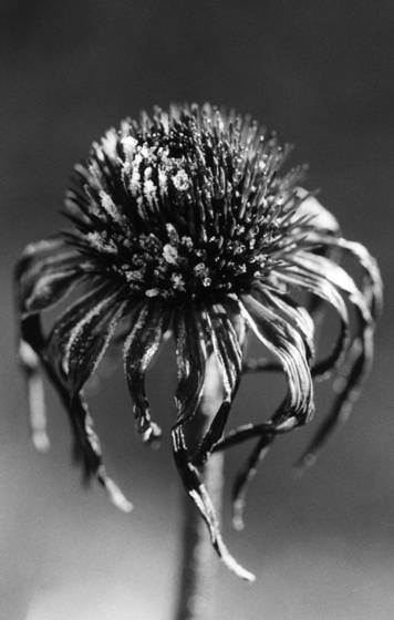 Flower with frost