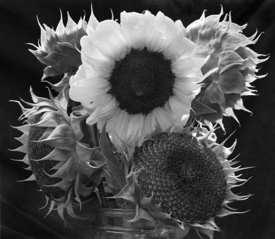 Sunflower  12