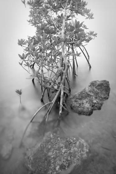 Red mangrove 4